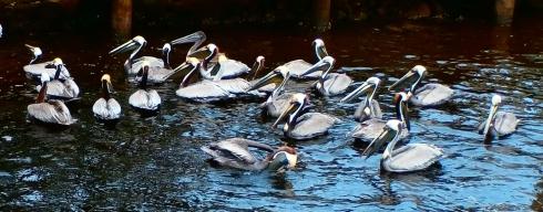 pack of pelicans 2