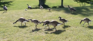more geese (2)